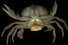 Sacculina - Wikipedia, the free encyclopedia