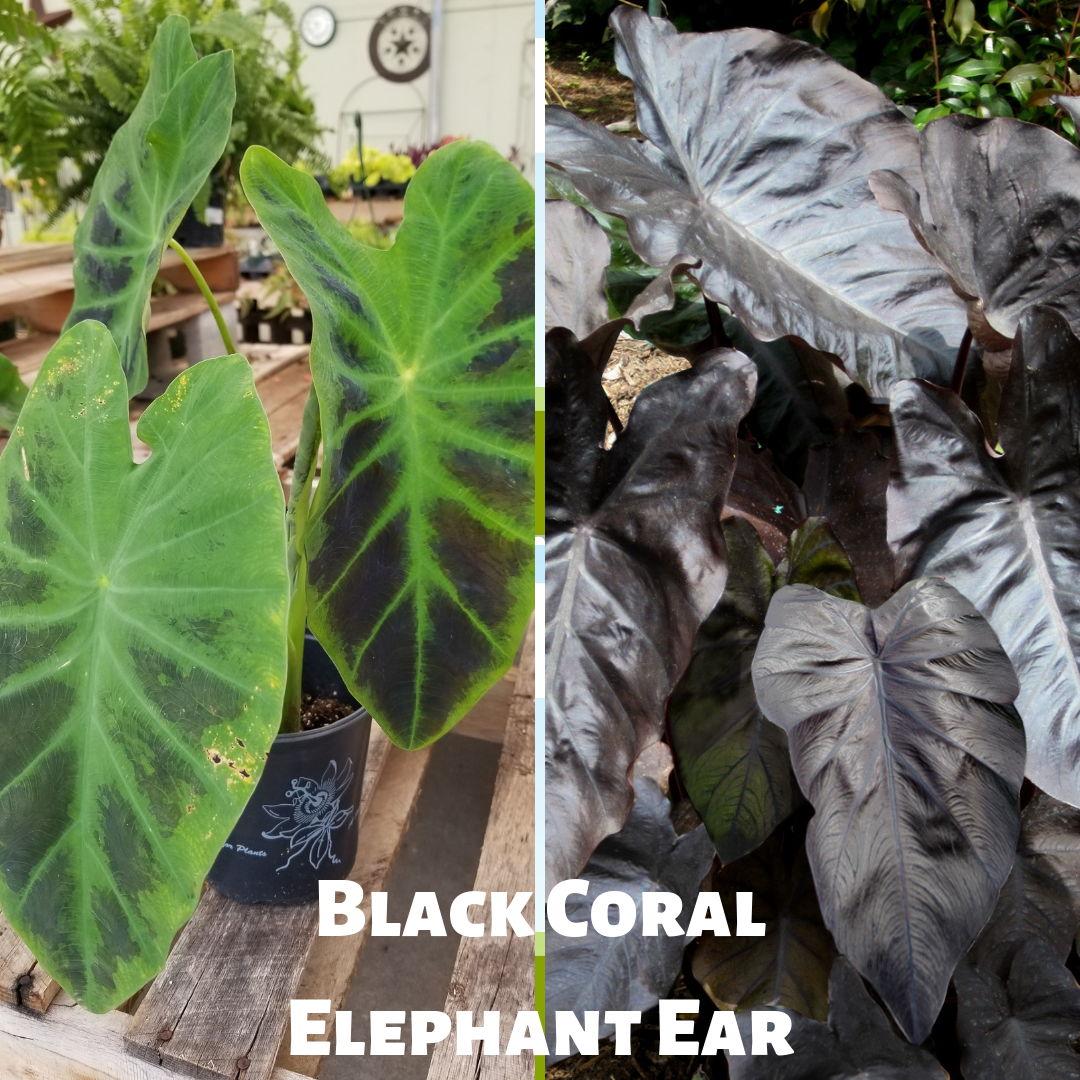 Black Coral Elephant Ear (Colocasia esculenta) has very striking, large, glossy, heart-shaped leaves that darken to jet black with sufficient sunlight. Black foliage contrasts spectacularly with bright-colored plants. Adds bold color and tropical flair to any #garden. Highly effective at the edge of a #pond or water garden. A dramatic choice for #patio containers. Spreads freely in rich, wet soils; more slowly in dry, heavy soils. An herbaceous #perennial. Check 'em out in our greenhouse. #elephantearsandtropicals