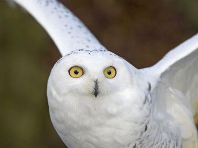 Snowy Owl Facts For Kids | Amazing Snowy Owl Behavior, Diet ...
