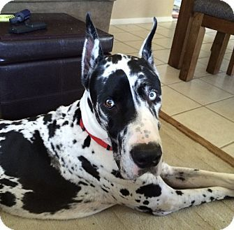 Indianapolis In Great Dane Meet Apollo A Dog For Adoption