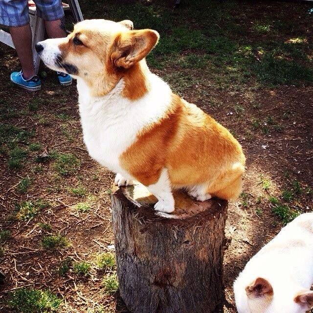Corgi math: Stump dog X stump log = stump squared! Z
