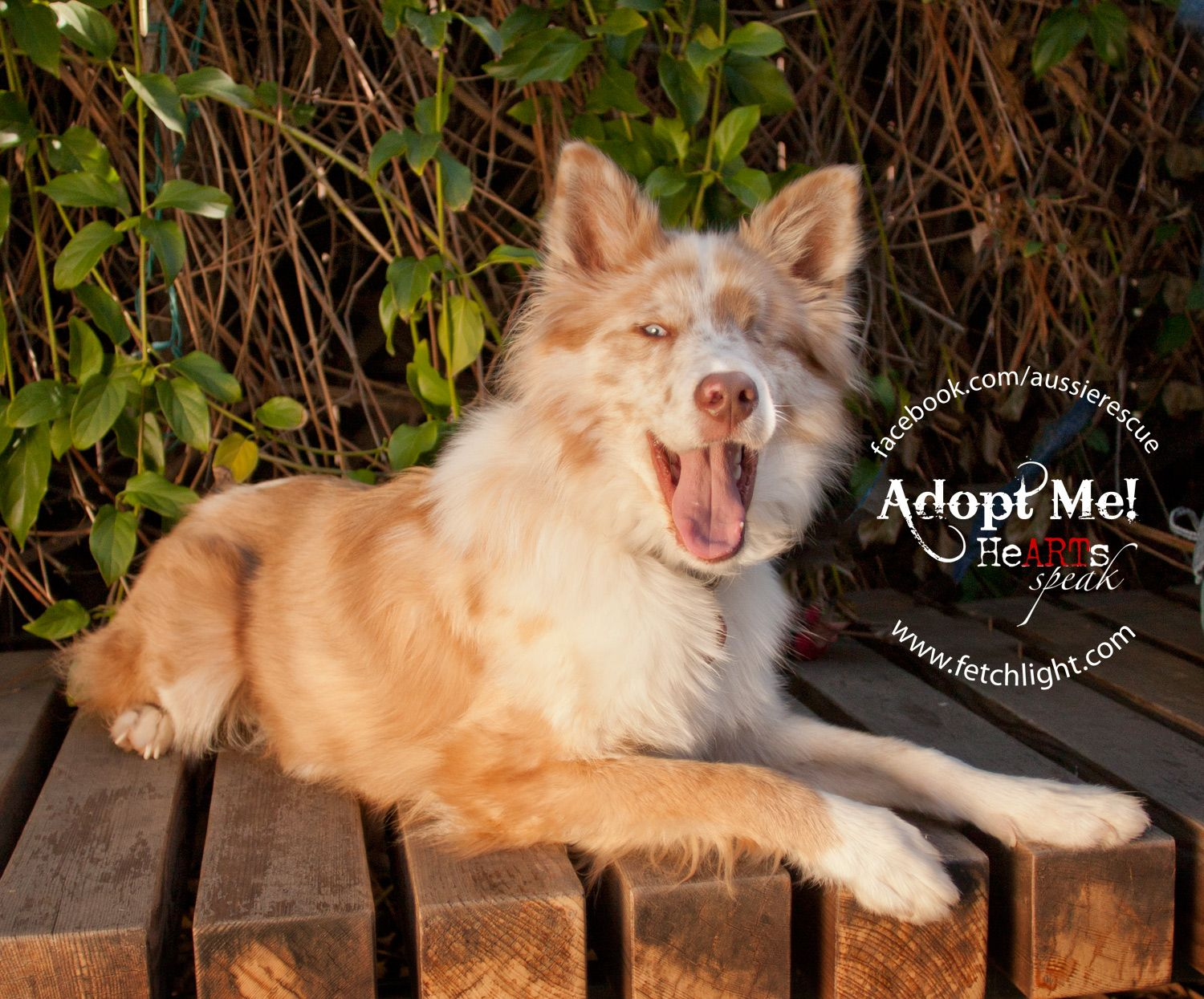 Happy Was Recently Adopted From Aussie Rescue San Diego Http Www Aussierescuesandiego Org Dog Adoption Dog Cat Dogs