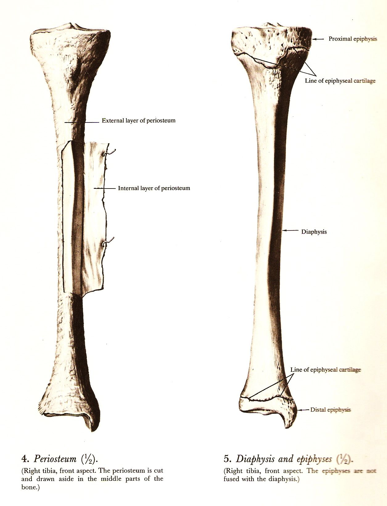 right tibia, \