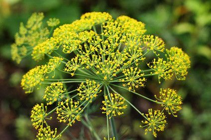 Dill,Anethum graveolens, Flower Essence