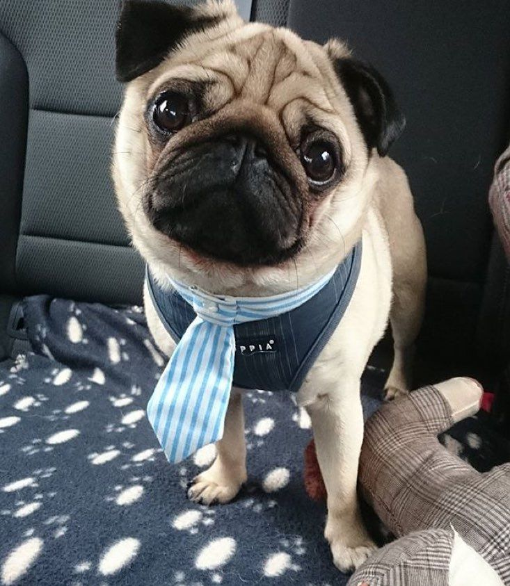 Percy looks fabulous with the Sailor tie!!  @percypug27  Available on Etsy with  20% off using the code:  MOKA20 !  by moka.s.secrets
