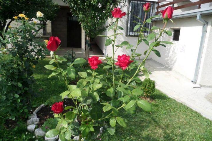 Ruže, roses, grm ruže