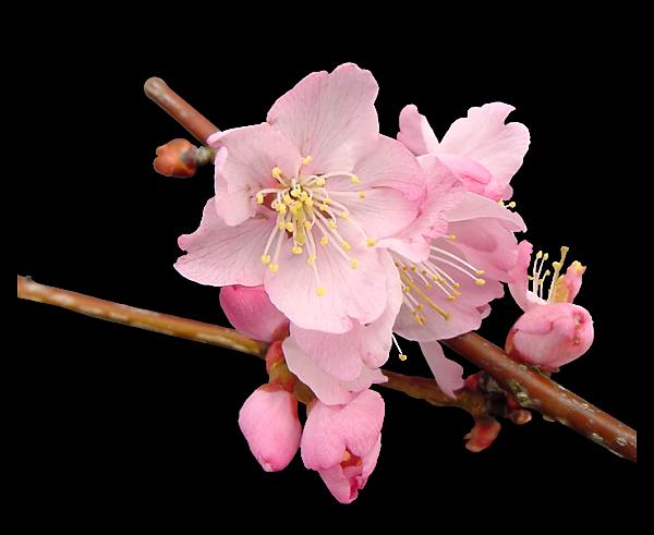 Tubes fleurs  / branches fleuries