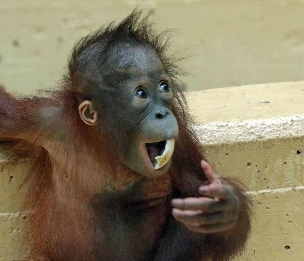 Sumatran Orangutan Sabbar Ouwehands Bb2a2748 Orangutan Sumatran Orangutan Baby Orangutan