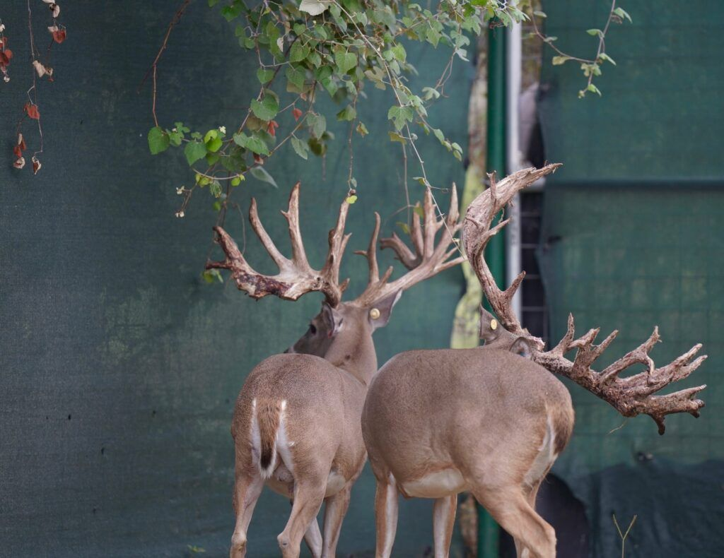 M3 Whitetails If You Want To Produce Wide Clean