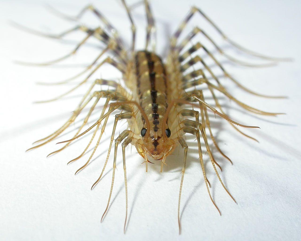 Pin On Chilopoda And Diplopoda