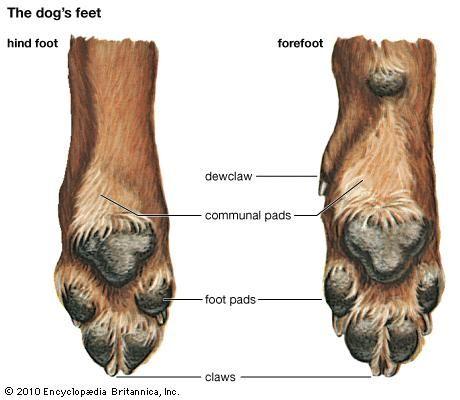 Dog Hind Paw Anatomy