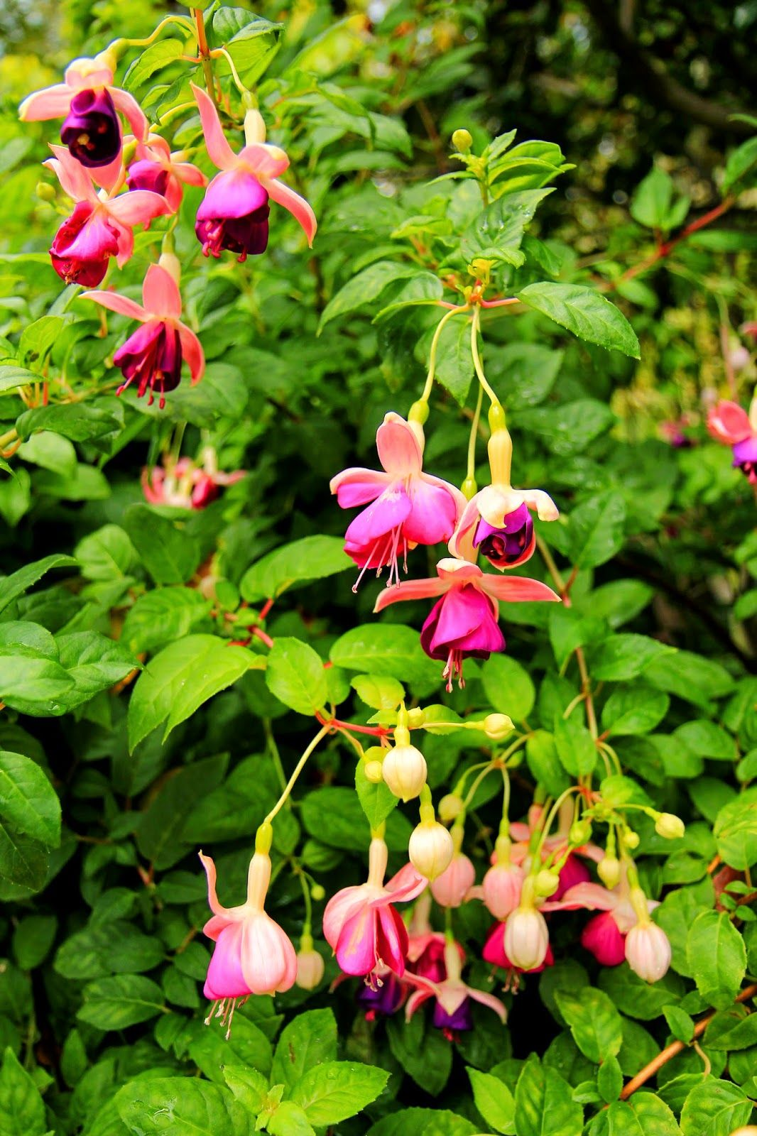 Friday Flower Pick Freedom And Fuchsias Fuchsia Flowers Beautiful Flowers Flower Picks
