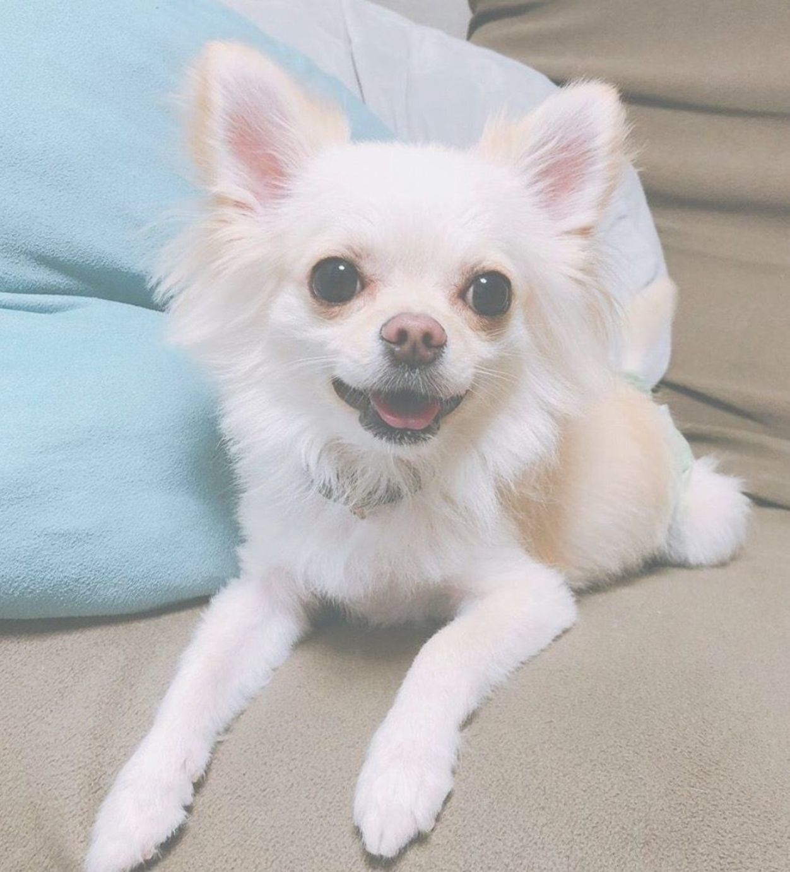 Chihuahua Chiwawa Chihuahua Dogs Cute Chihuahua Chihuahua