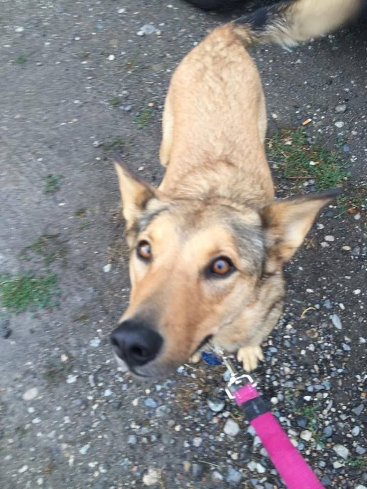 One Loveable Shepherd On Her Cross Country Cross Border Trip From Victoria Bc To Ottawa Ontario Canada Pet Relocation Pets Cute Animals