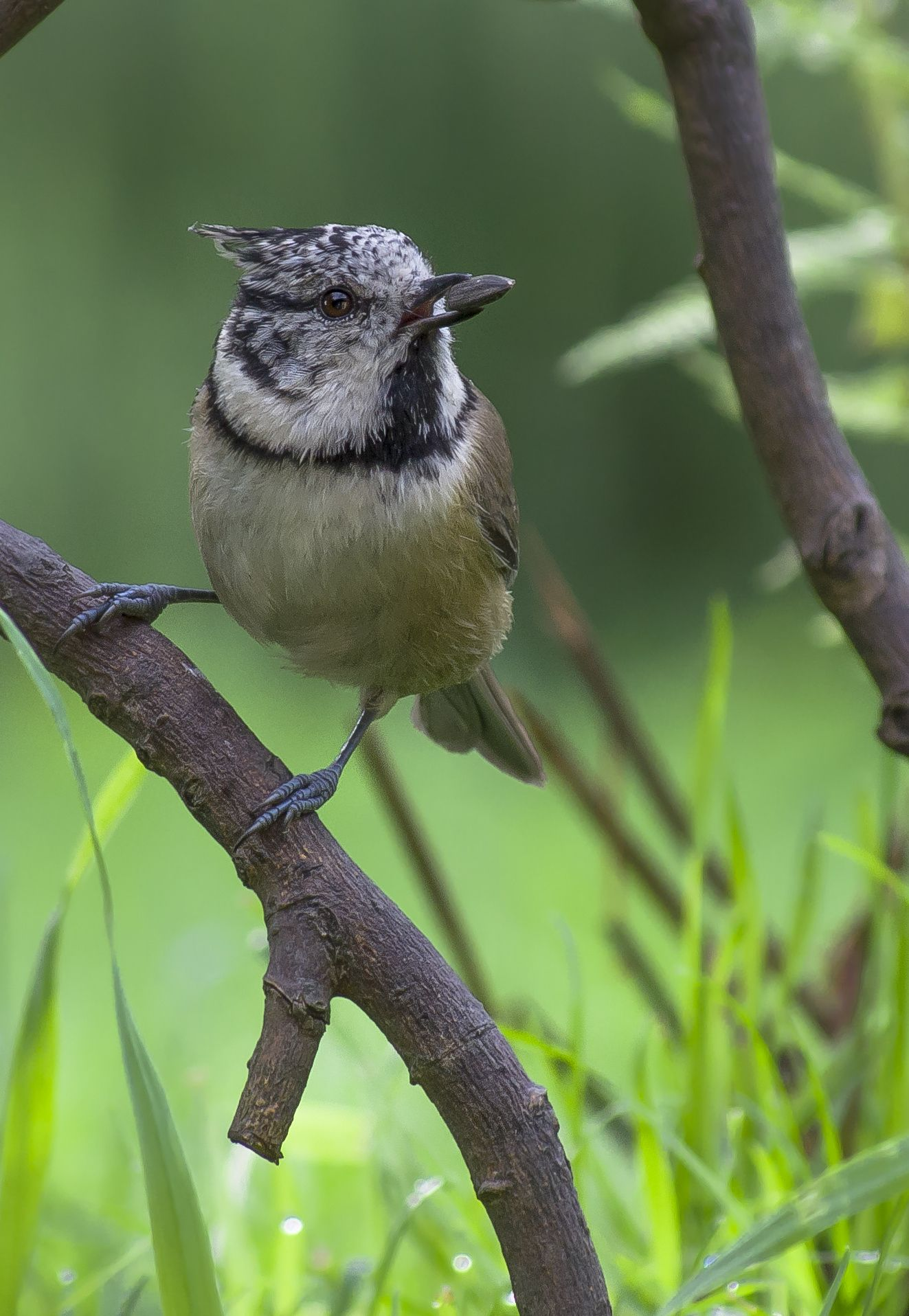 Crested Tit / Haubenmeise by Andre Heß on 500px