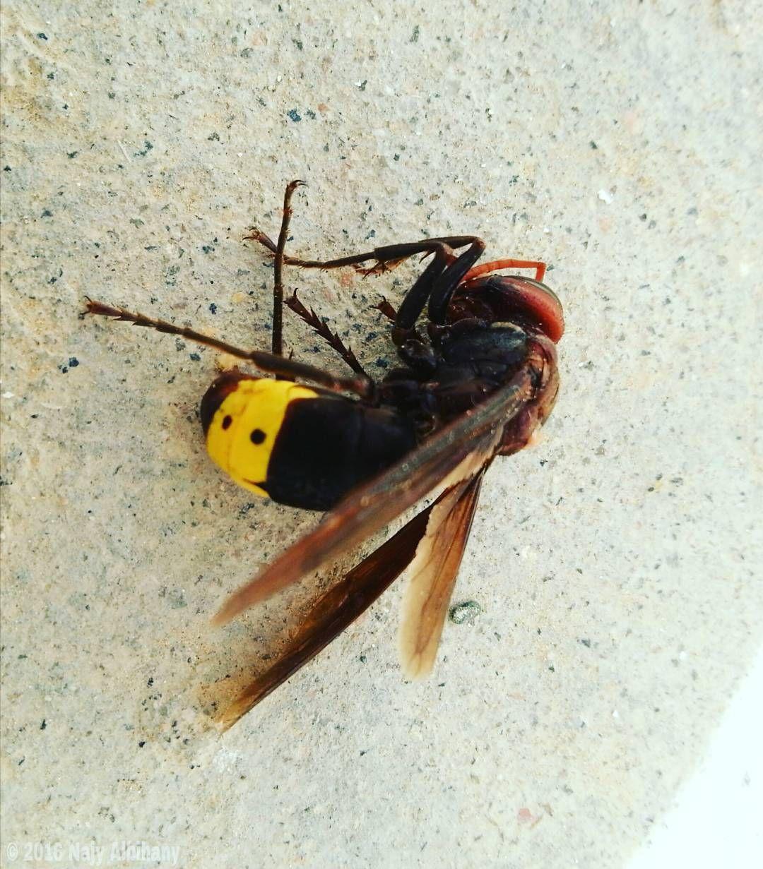 Photo () #Hornet #Vespid #Photography #Photographer #NatGeo