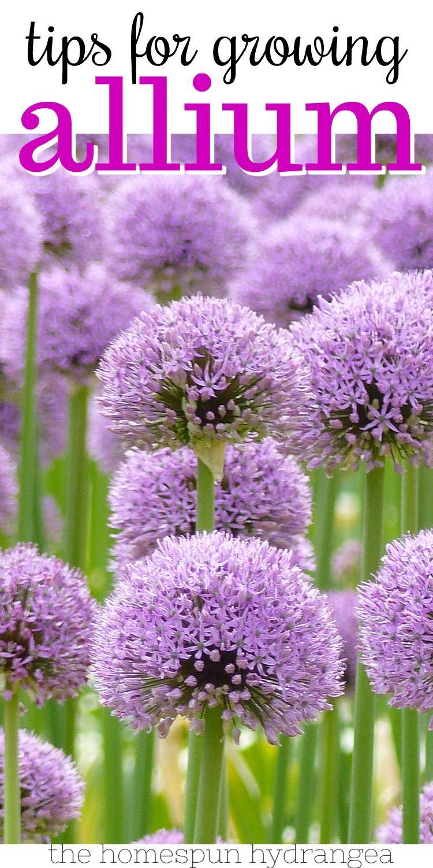 How To Grow Allium In Your Garden In 2020 Onion Flower