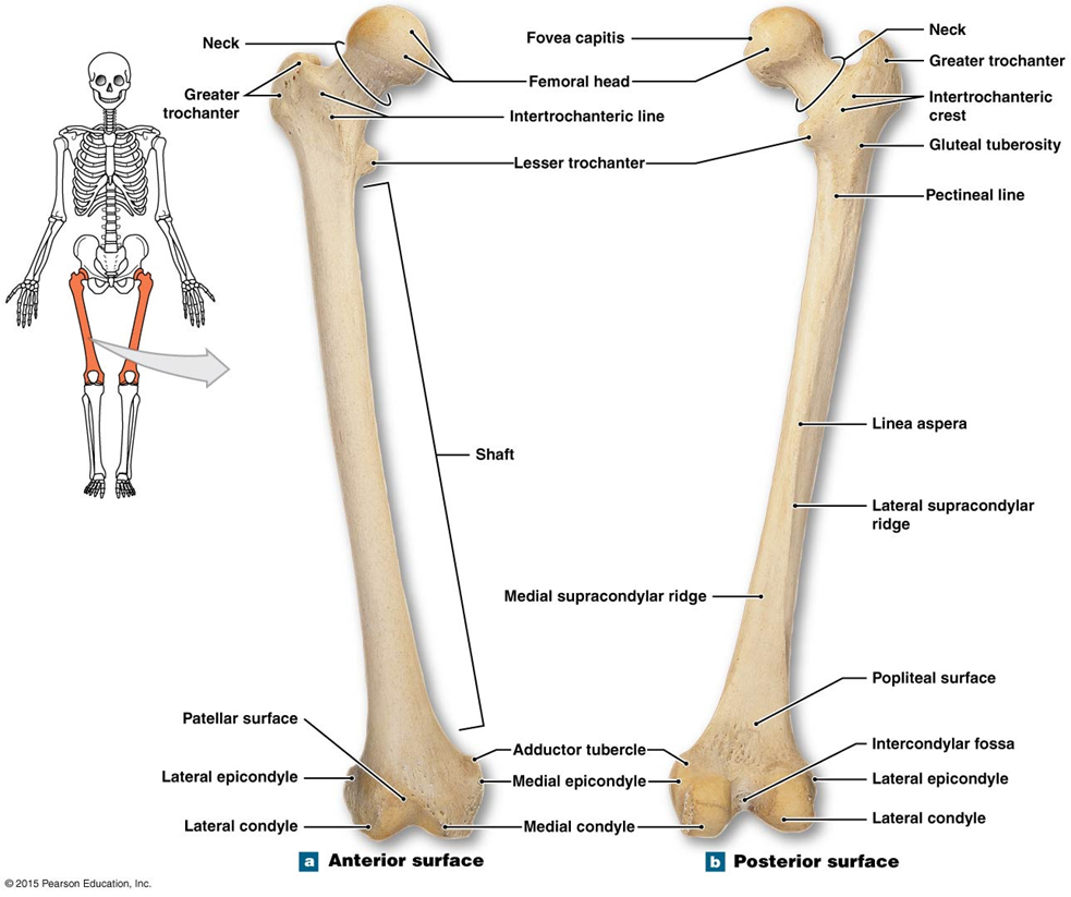 bone markings on the right femur. | study | pinterest | anatomy and