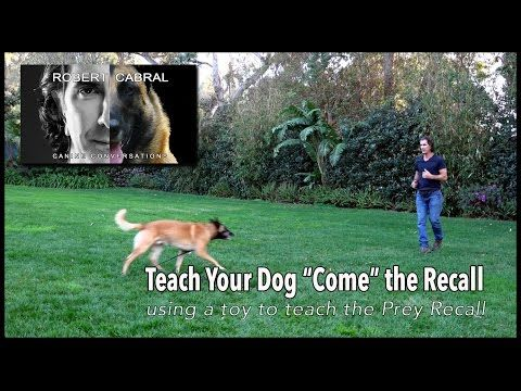 Teaching COME, the Recall - Robert Cabral Dog Training #12 - YouTube