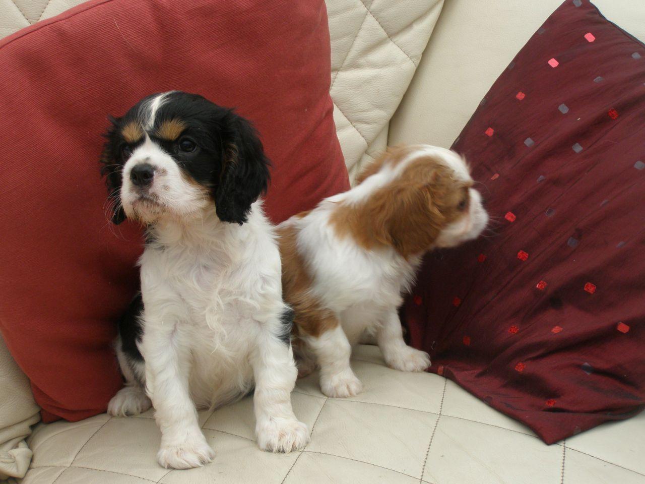 Cavalier King Charles Puppies Telford Shropshire Pets4homes