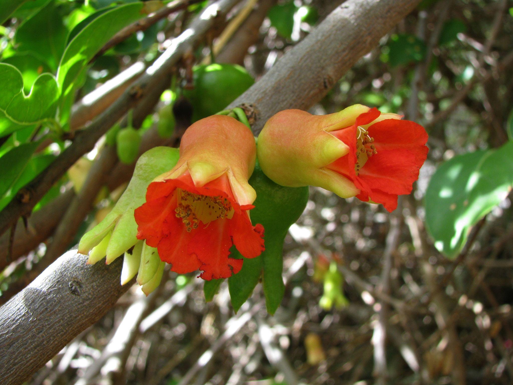 Yemen | Punica protopunica | Socotran pomegranate Lythraceae Endemic to Socotra (Yemen)