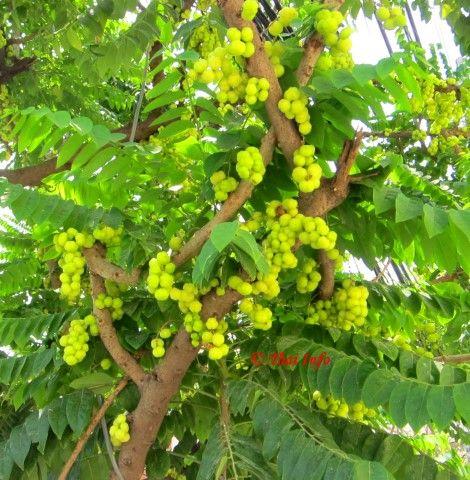Stachelbeerbaum Phyllanthus Acidus