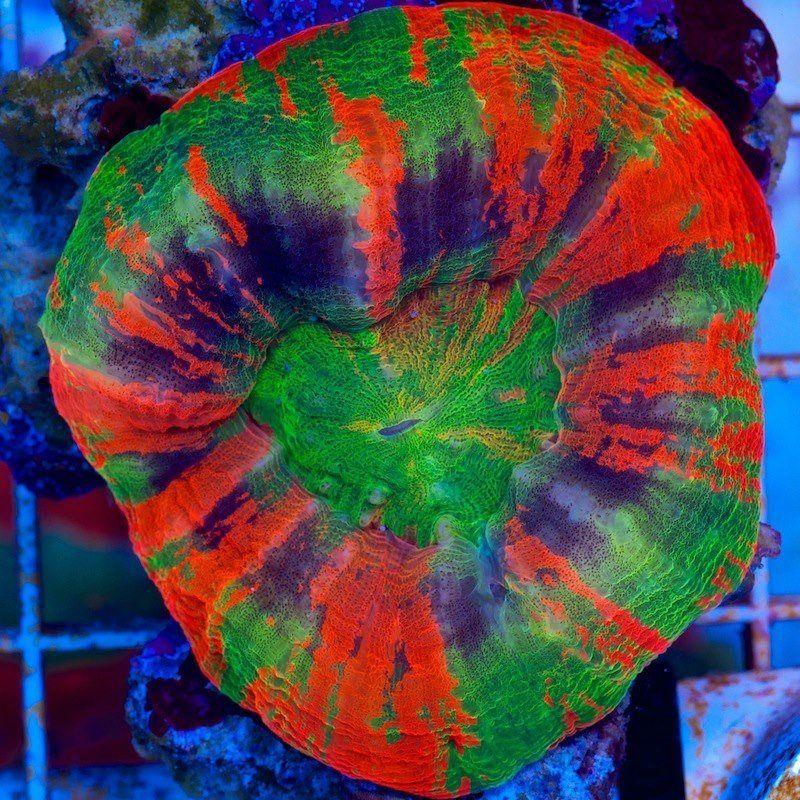 Tye Dye Scolymia Australis Marine Aquarium Saltwater Tank Saltwater Aquarium
