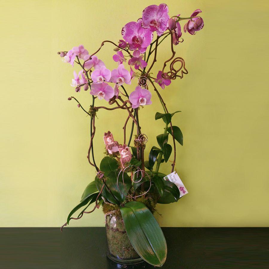 Lovely Twins Newborn Phalaenopsis Orchid Arrangement Orchid Arrangements Orchids Phalaenopsis Orchid