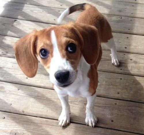 Meet Puppy Fiona A Petfinder Adoptable Beagle Dog Sussex Nj
