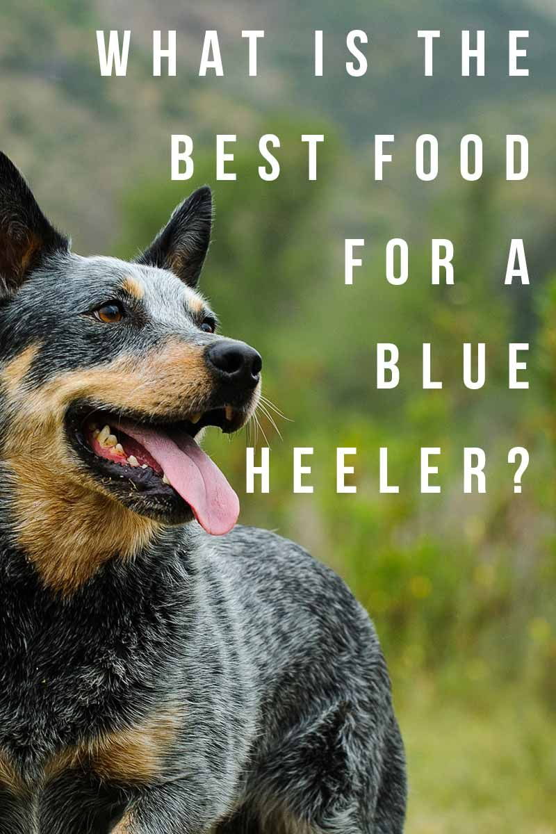 Best Dog Food For Blue Heelers Nourishing Your Australian Cattle