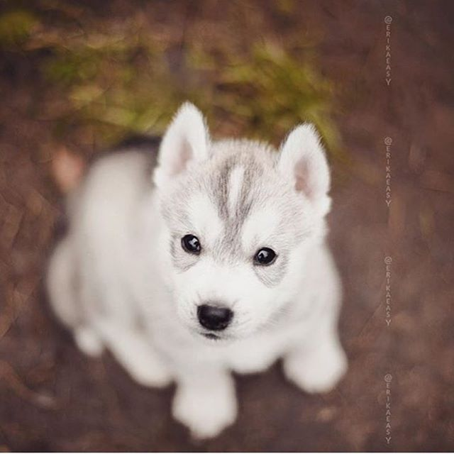 Cutest Little Husky  F F  B Photo By Erikaeasy Animaladdicts To Be Featured