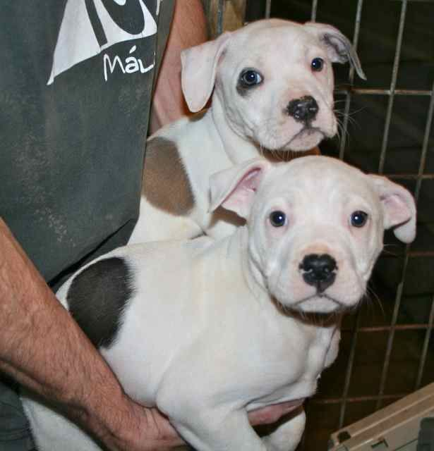 The Dazzling Divas Are Two 8 Week Old Female White American