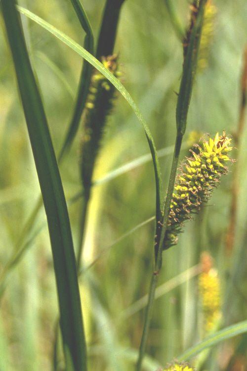 Carex Lacustris Lake Sedge Lake Wildflower Seeds Wetland