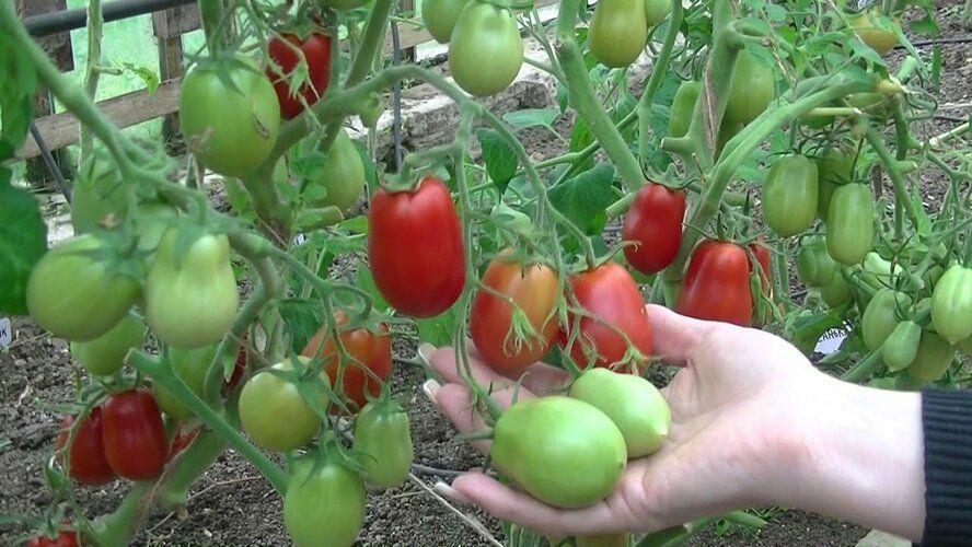 помидоры для парника без пасынкования