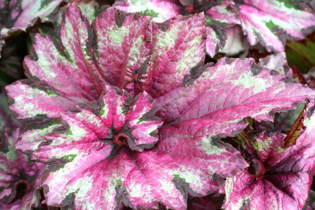 Begonia Begonia Easy To Grow Houseplants Dragon Garden