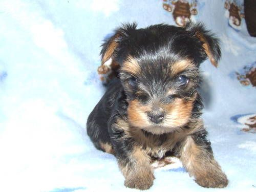 Akc Yorkshire Terrier Puppy Puppies Yorkshire Terrier Yorkshire Terrier Puppies