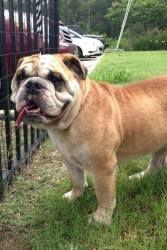 Bubba Is An Adoptable English Bulldog Dog In Houston Tx Bubba Is