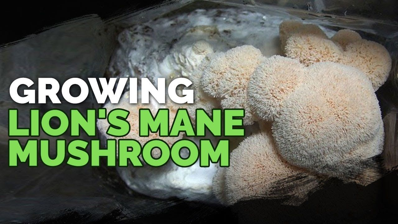 How to grow lions mane mushrooms recipe included
