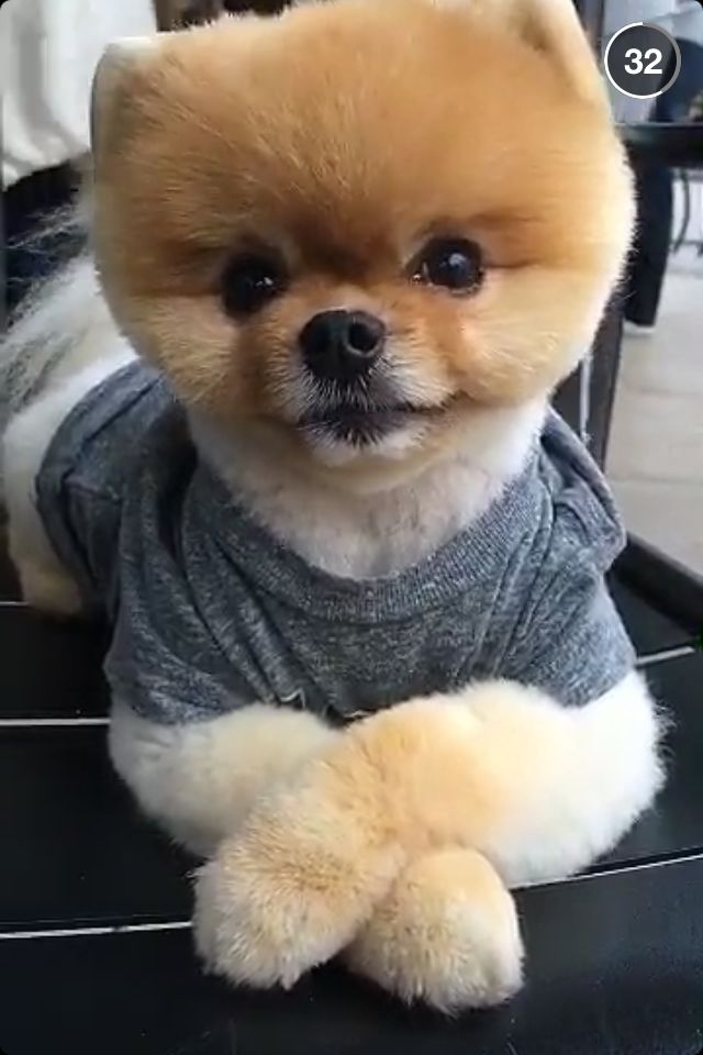 Add Jiffpom On Snapchat And Instagram For More Cute Pics Like This - Jiff the pomeranian is easily the best dressed model on instagram