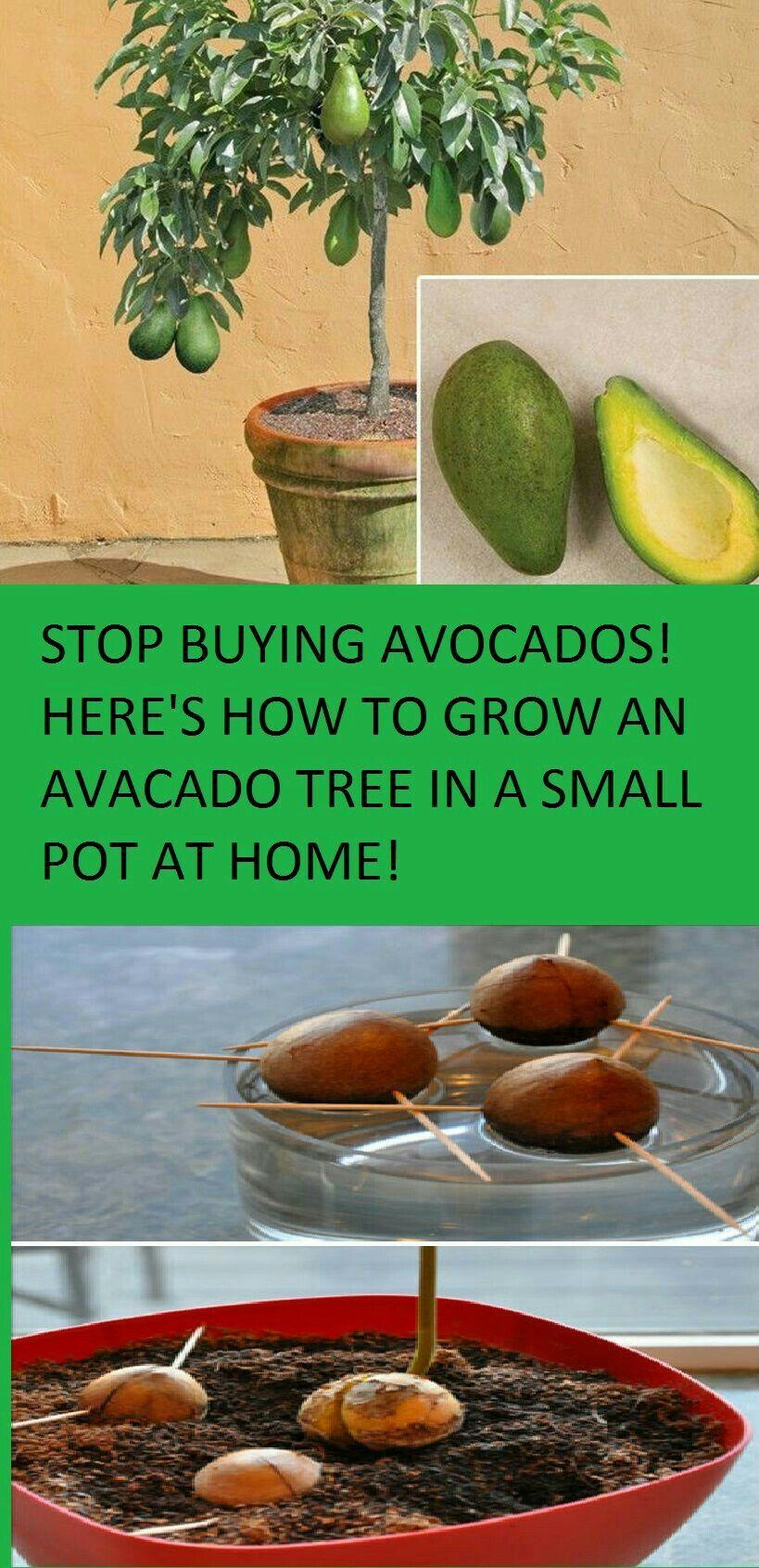 Aprende como plantar aguacates en tu hogar