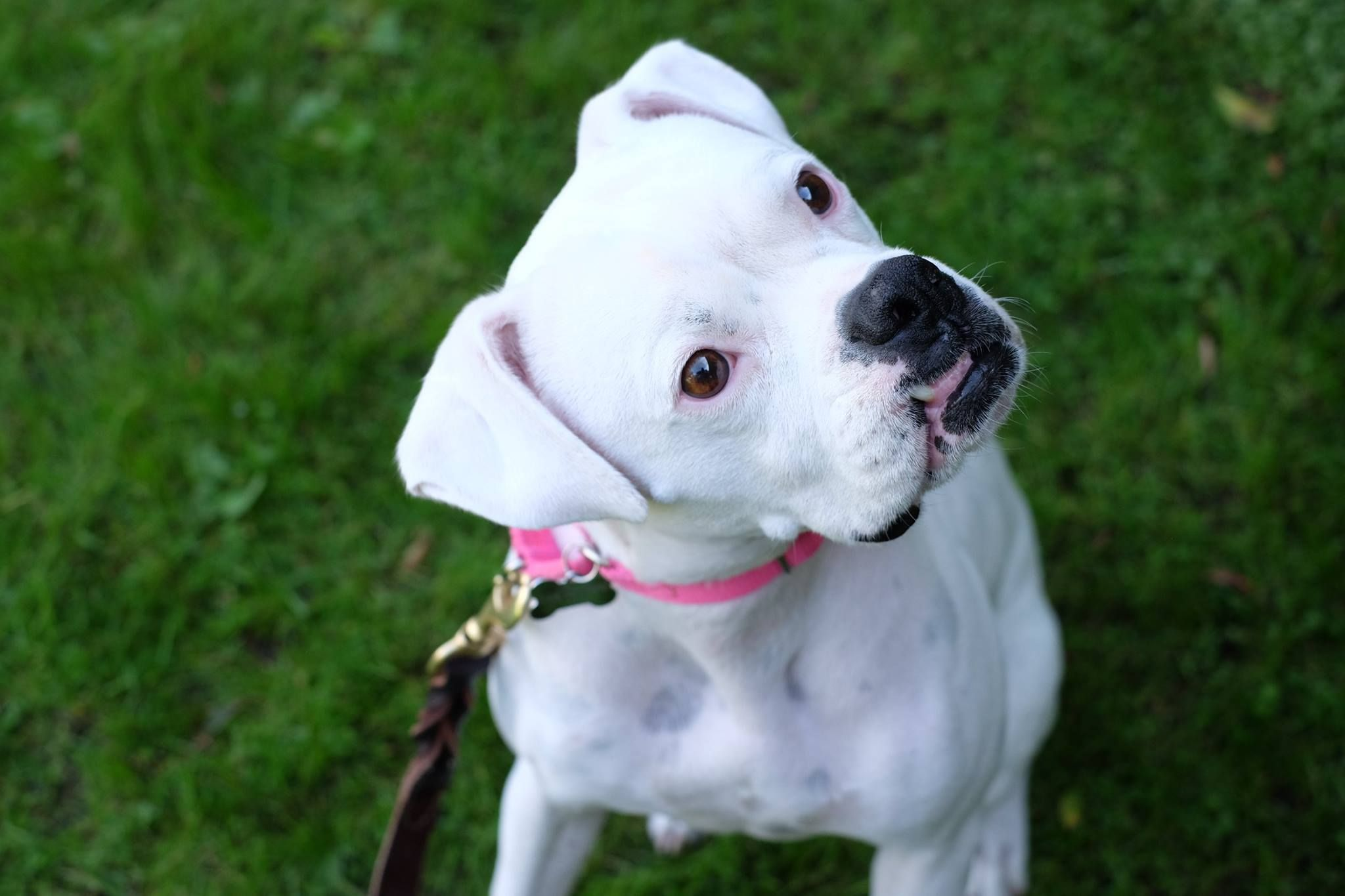 Bella is an adoptable Dog Boxer searching for a forever