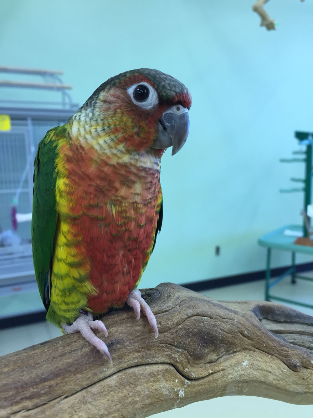 Yellow sided green cheek conure with lots of red! @ Green Parrot Superstore