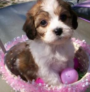 Pin By Allana Metz On Caroline Cavachon Puppies Cavachon King