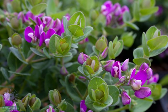 Polygala Myrtifolia Mariposa Plants Purple Flowering Bush Butterfly Plants