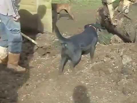 Perros Matando mas de 100 Ratas en una granja INCREIBLE IMPRESIONANTE