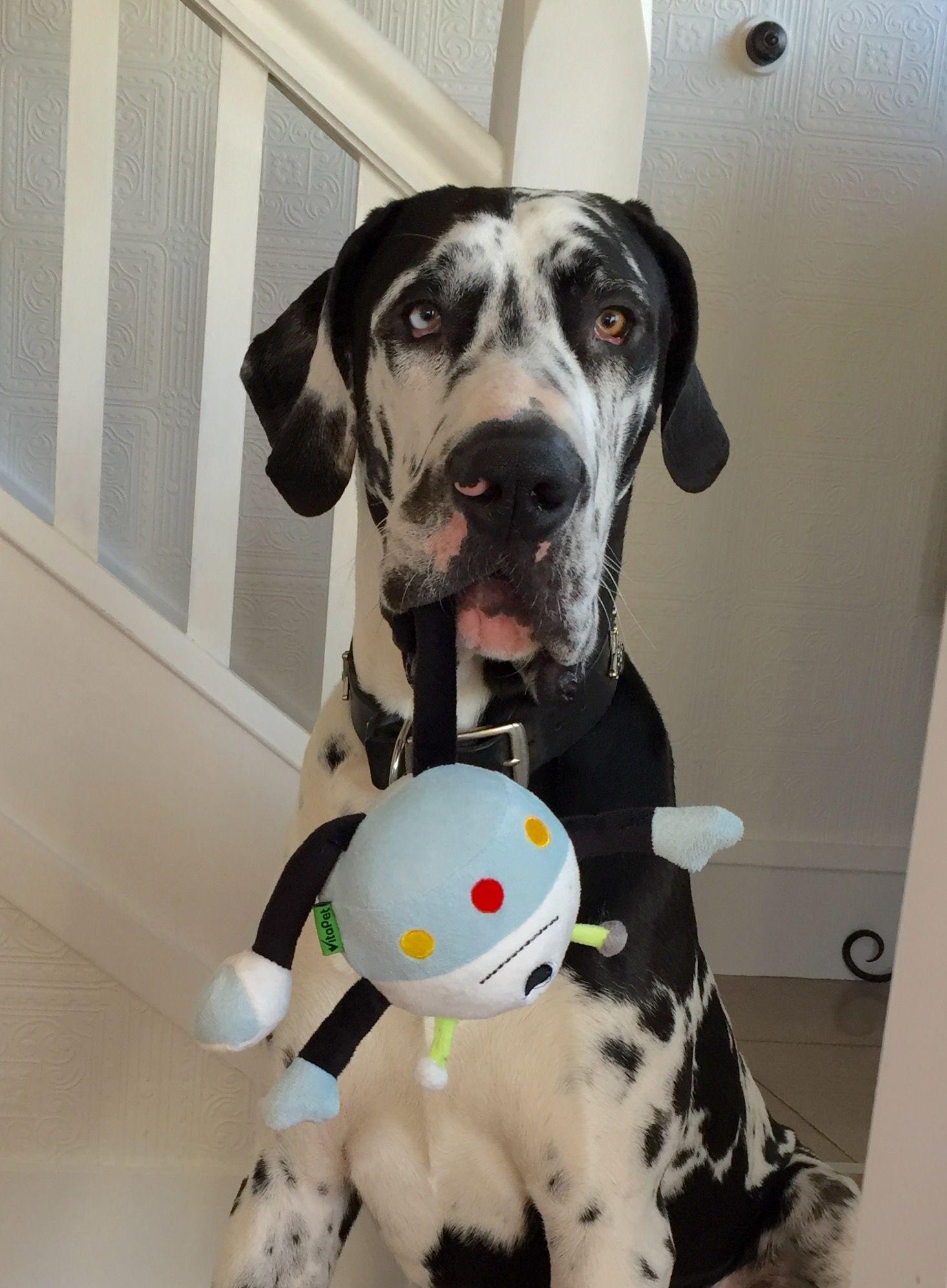Marlow the Great Dane 9 months Dream dog Deutsche