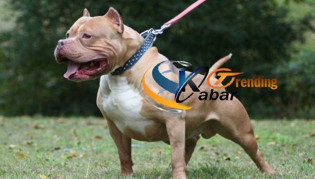 Anjing Pitbull Merupakan Salah Satu Anjing Ras Yang Cukup Diminati Oleh Para Pecinta Anjing Bagaimana Tidak Anjing Ini Dikenal Anjing Pitbull Pitbull Anjing