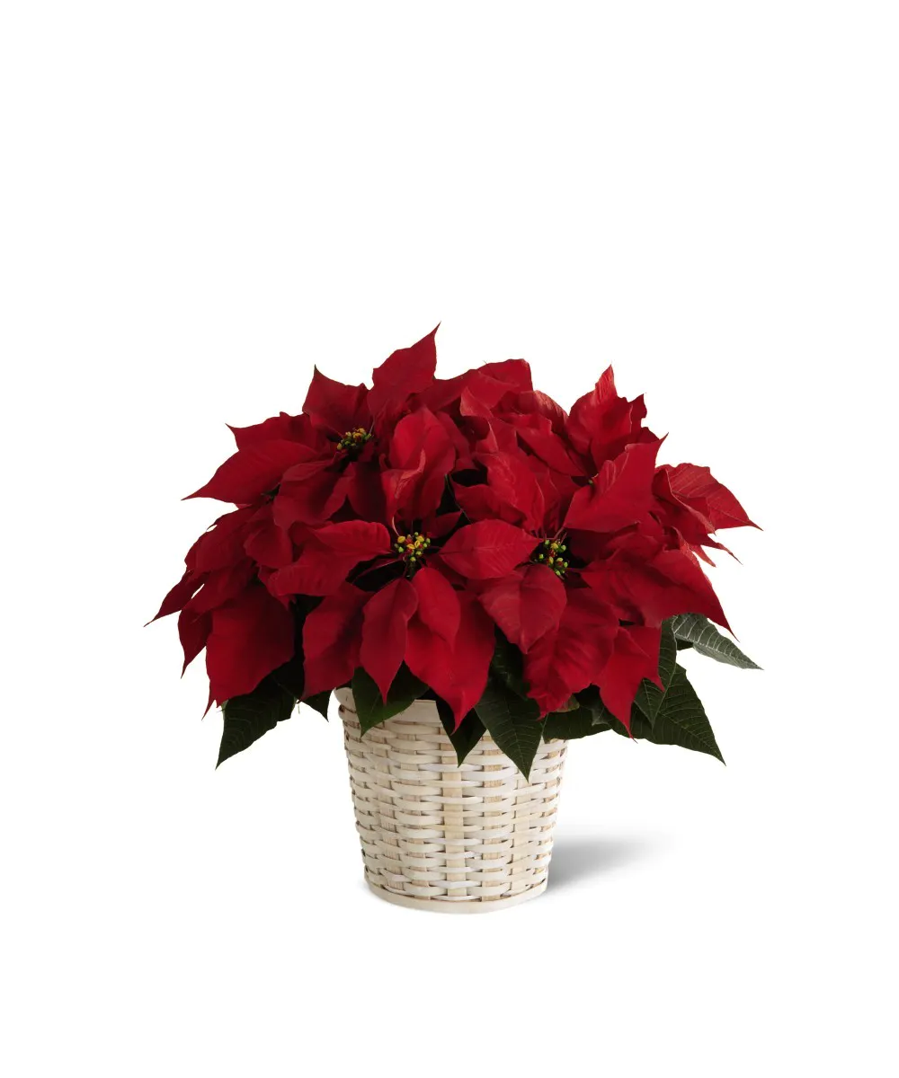 Small Red Poinsettia Poinsettia Plant Christmas Plants Flower Delivery