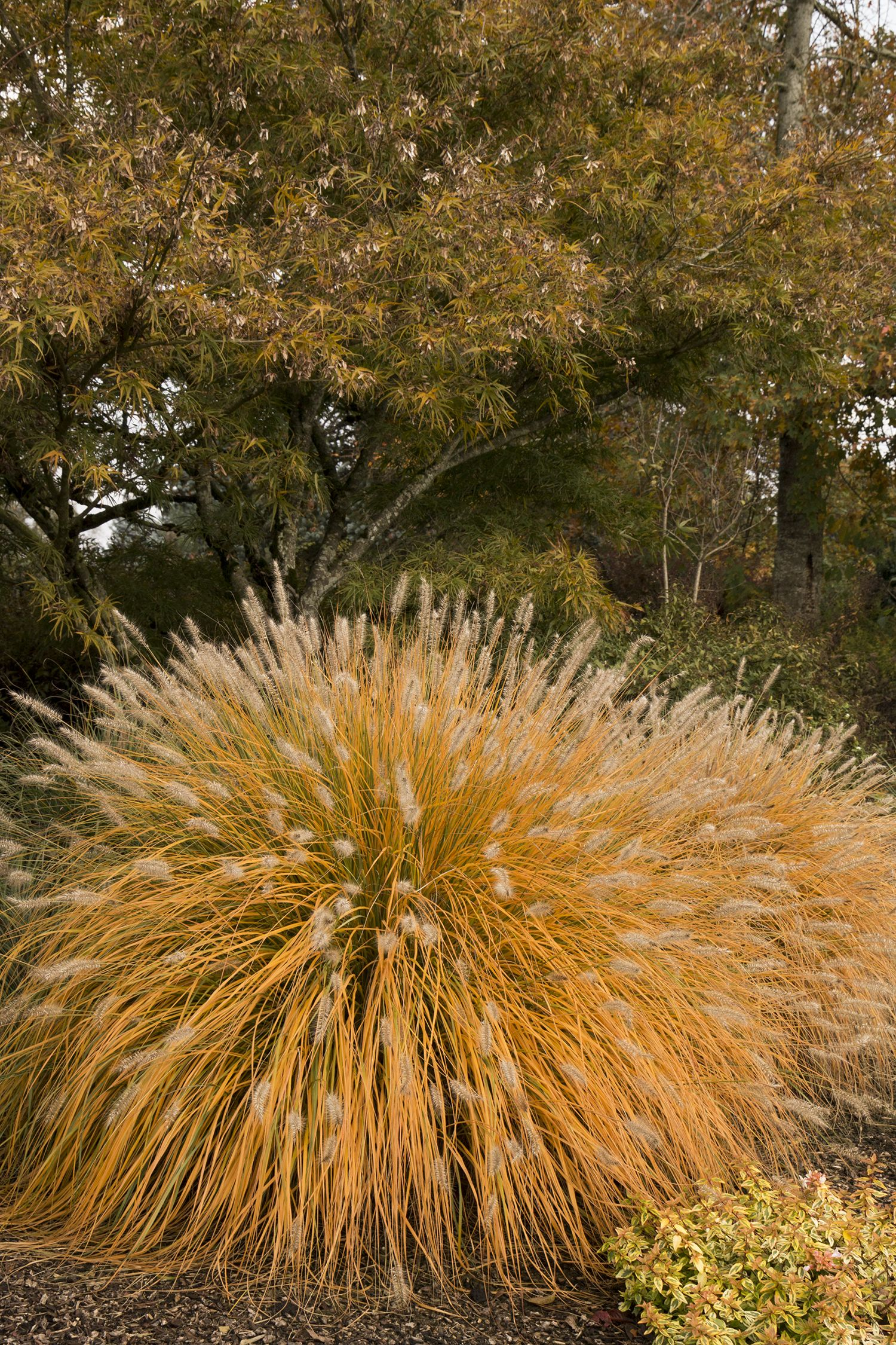Obsession fall s golden grasses fountain grass small for Short ornamental grasses full sun