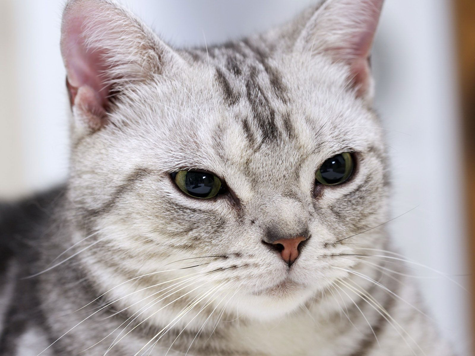 Pin By Tammy Hucks Sheriff On Future Home Pets Life American Shorthair Cat American Shorthair Kitten Cats